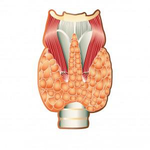 щитовидная железа, гормоны